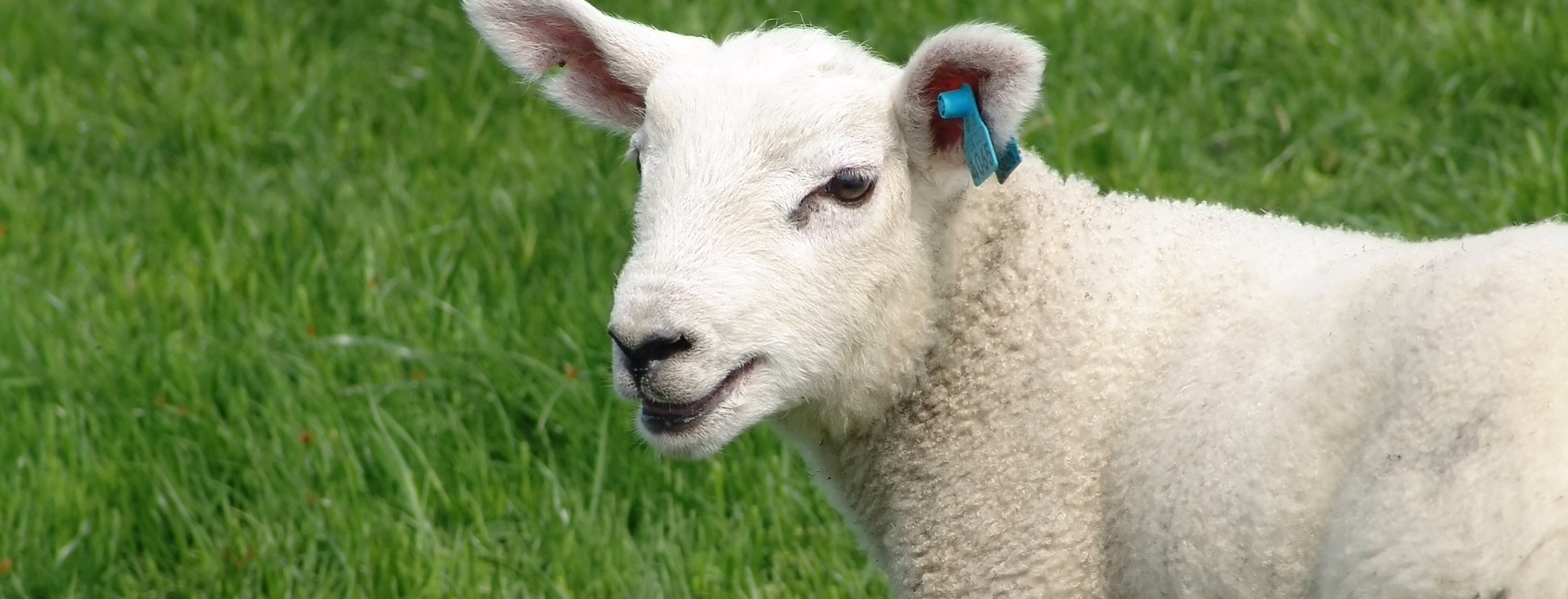 sheep-ear-tags