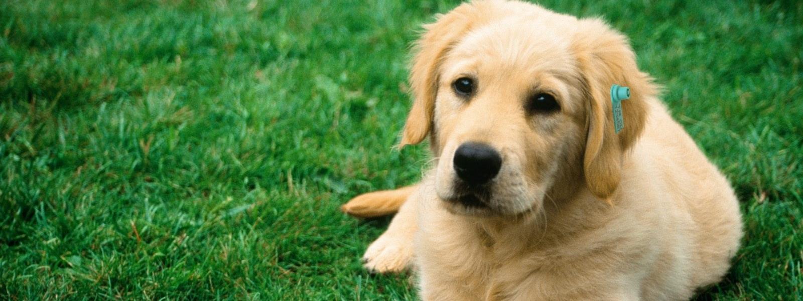 stray-animals-ear-tag